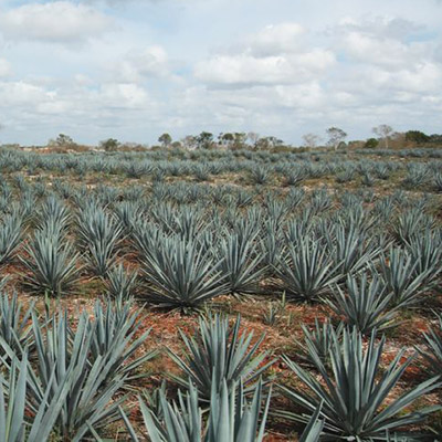 Tequila Blue Agave field
